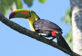 Belize Birding Tours