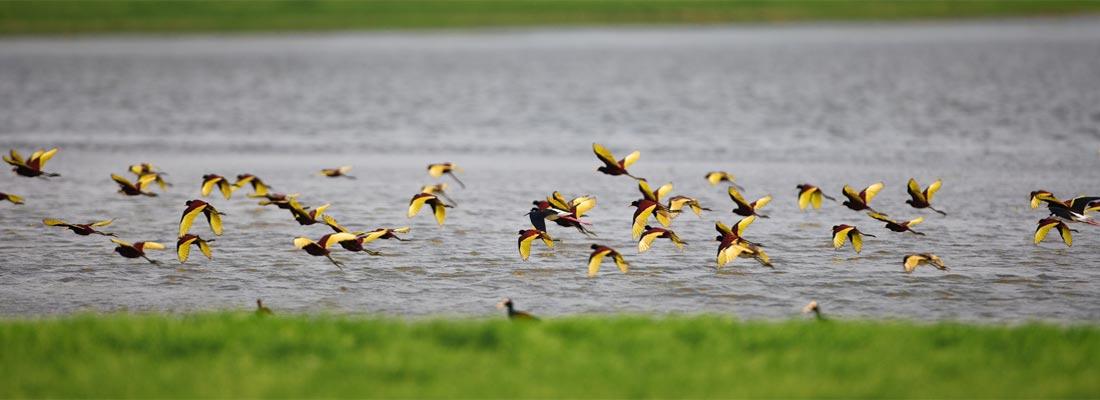 Jacana flock