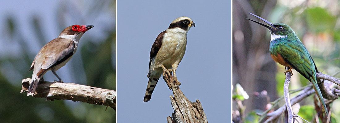 Tityra-Falcon-Jacamar