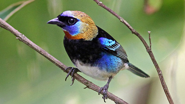 golden hooded tanager - Photo by Al Erickson